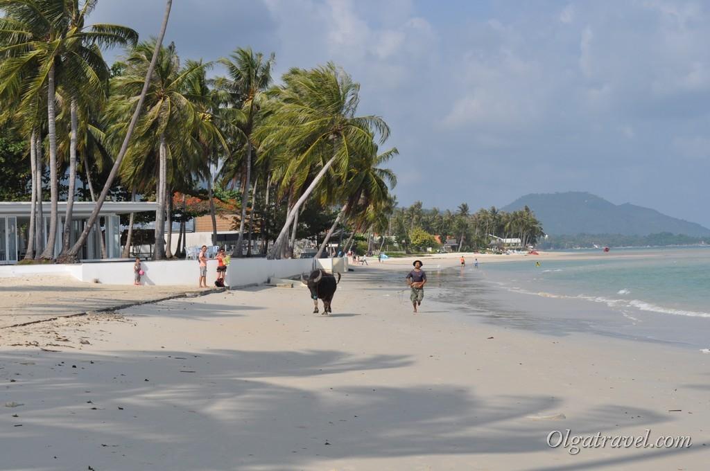 Прогулка с буйволом по пляжу:)