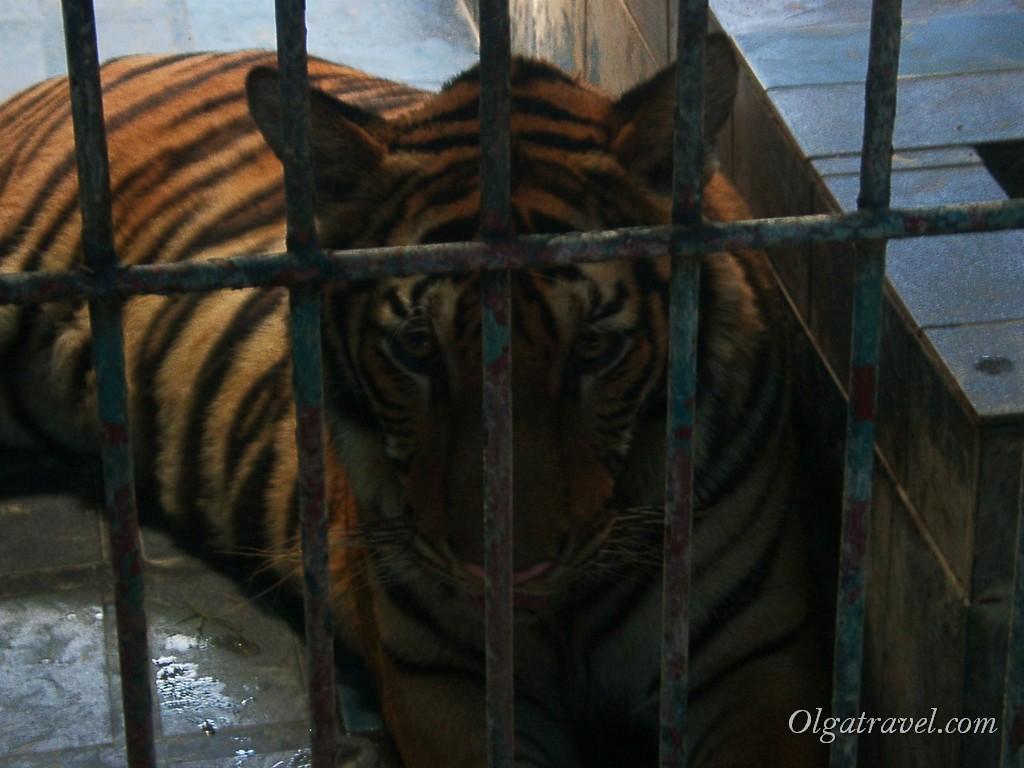Тигр в грустными глазами