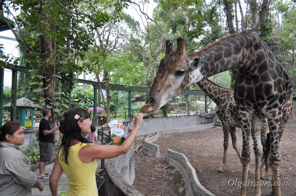 Кормление жирафов вызвало море положительных эмоций!