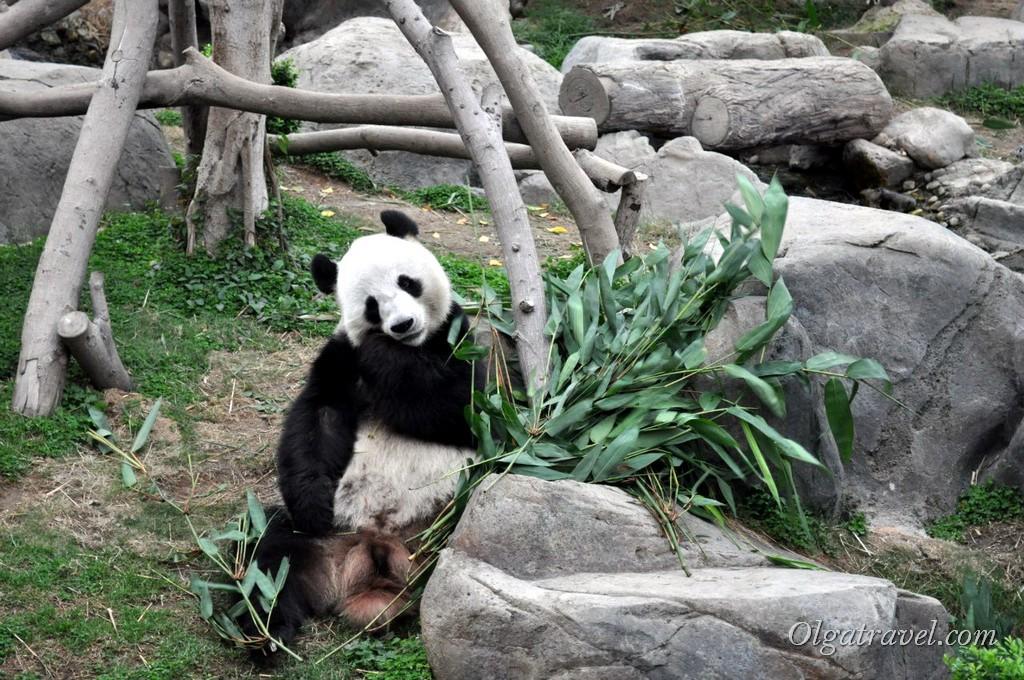 Панда в Гонконге, в Оушен парке