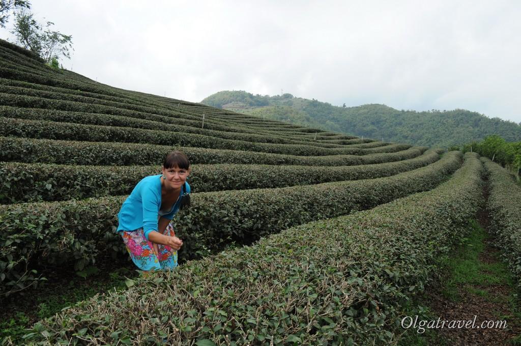 В горах возле Мае Салонг выращивают чай