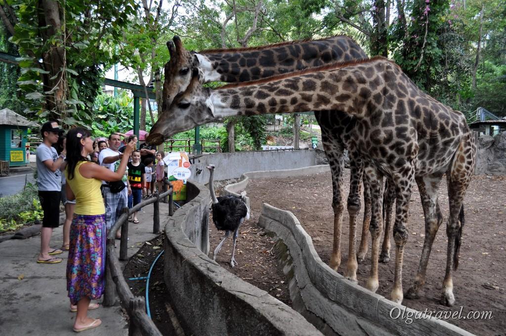 Кормлю жирафов :)