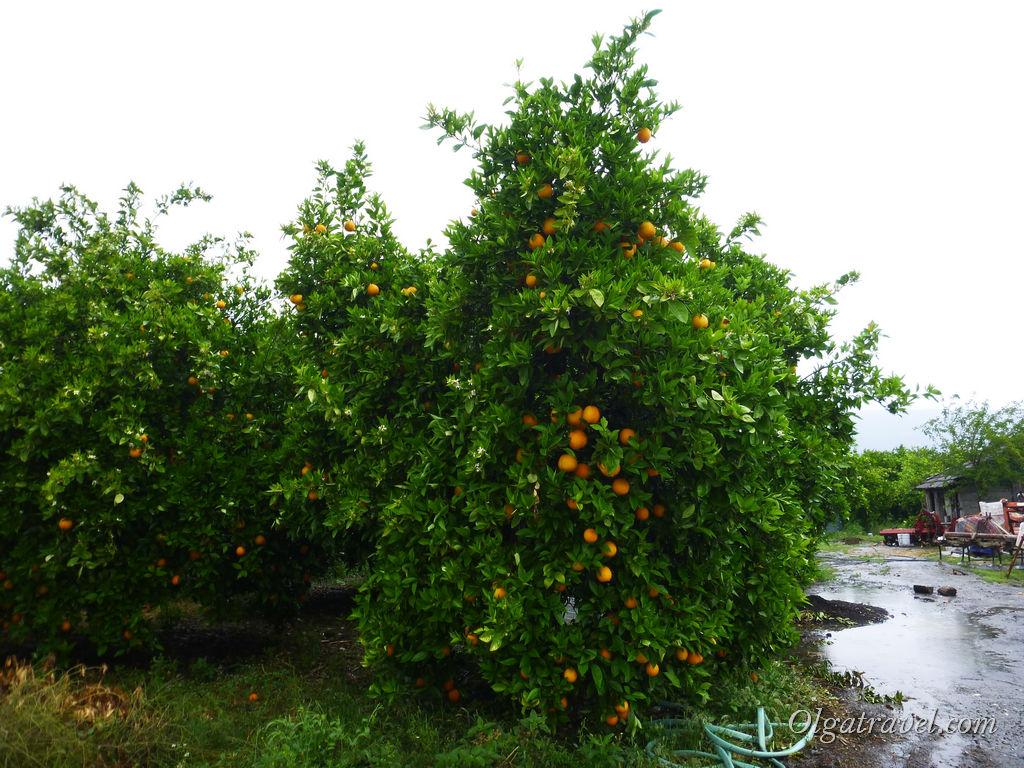Дальян апельсины