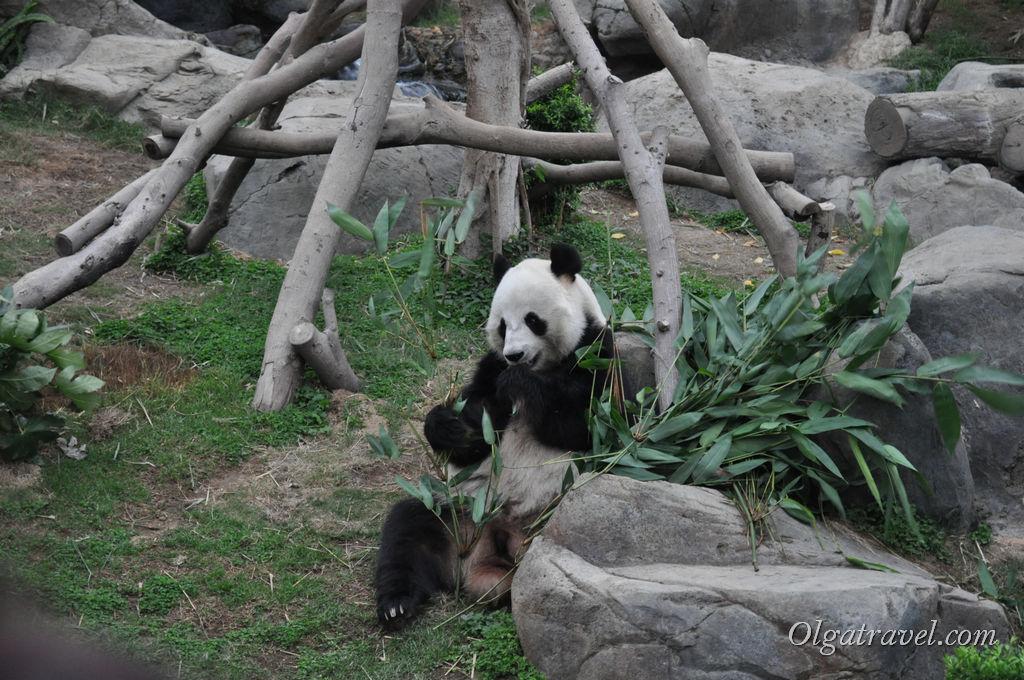 HongKong_panda