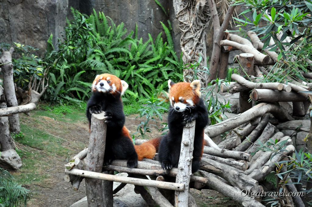 Две красные панды. Тоже милашки :)