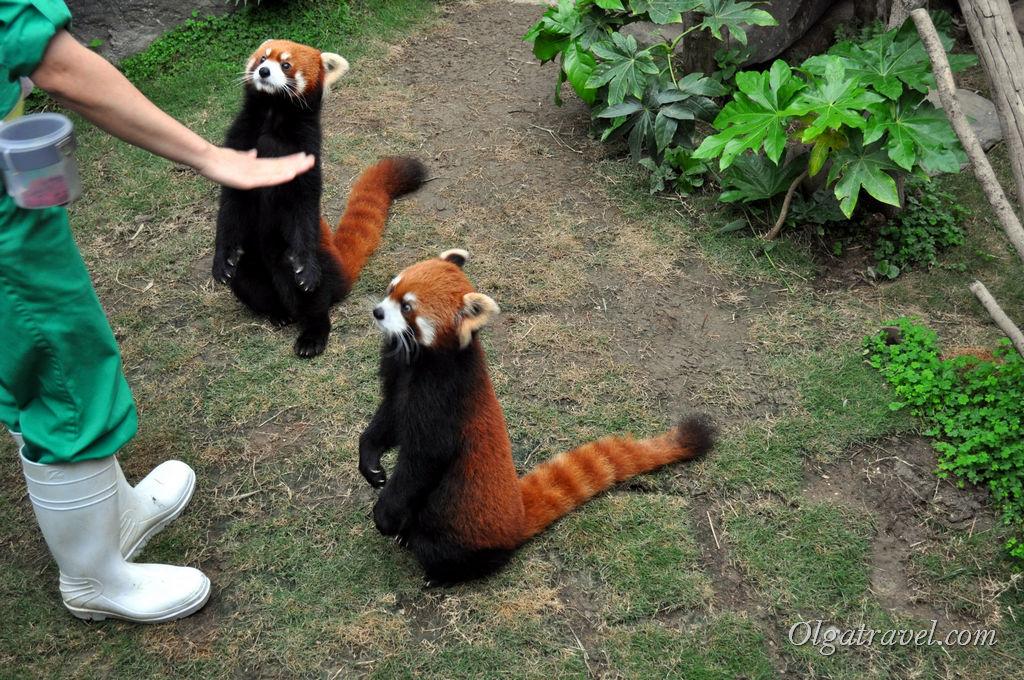 Кормление панд