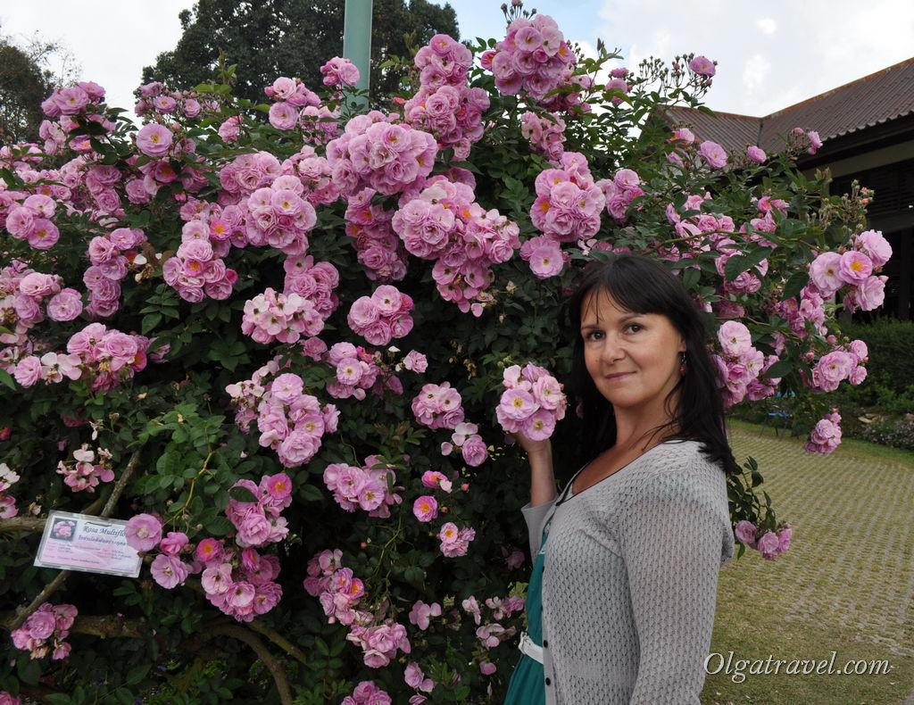 Розовые кусты тут повсюду