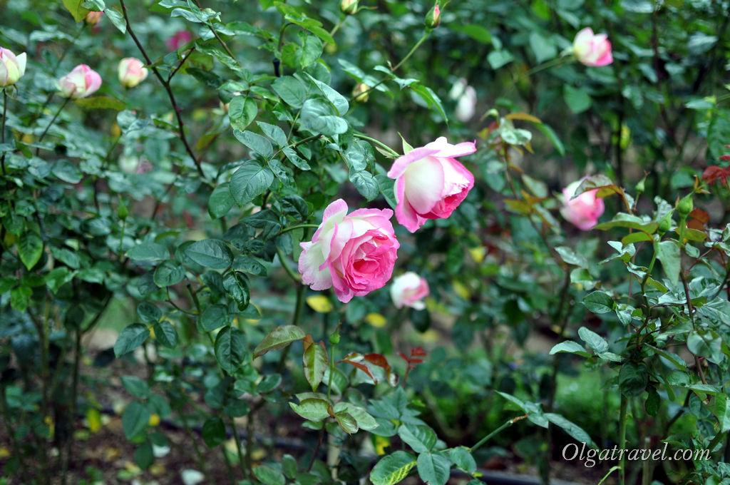Розы-розы...