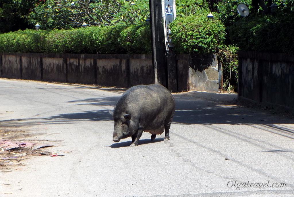 Местная достопримечательность Банг Бао - свинка :)