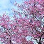 Где полюбоваться цветущей сакурой в Таиланде?