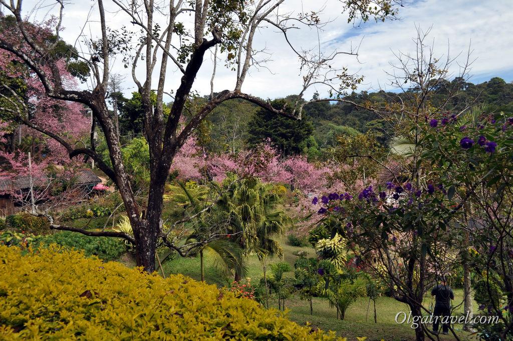 Сакура на горе Дой Пуи