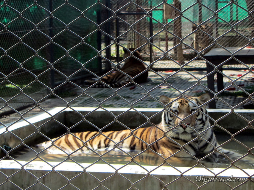 Tiger_Kingdom_Chiang_Mai_10