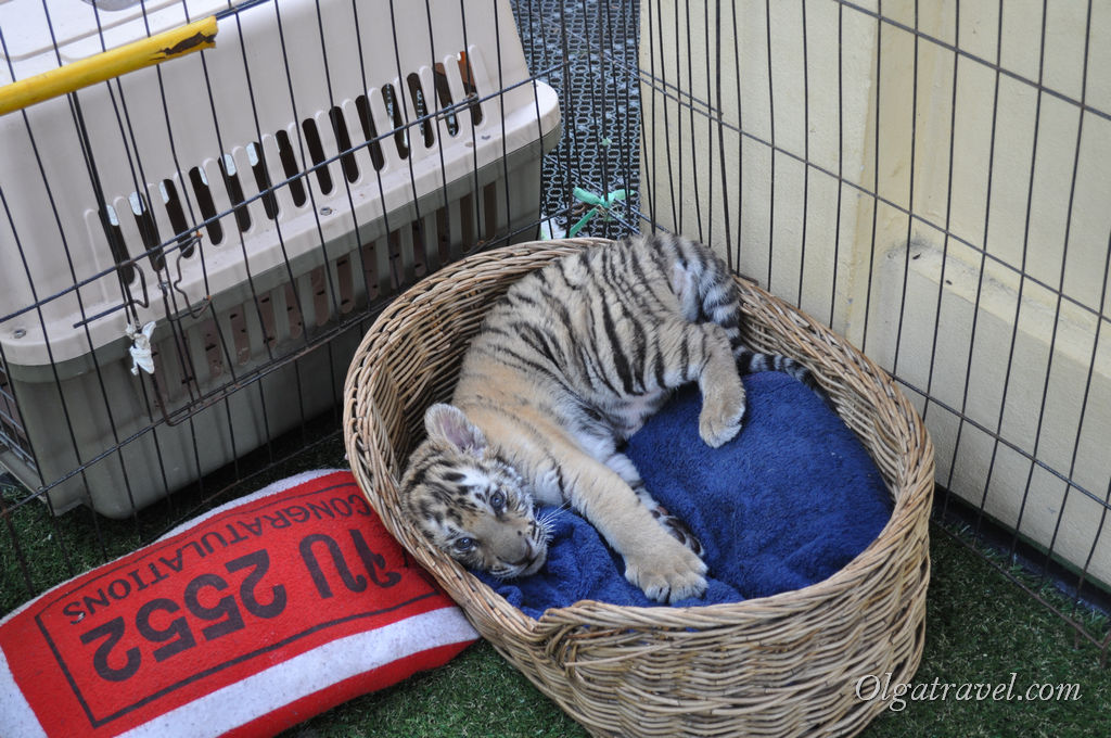 чианг май тигрята