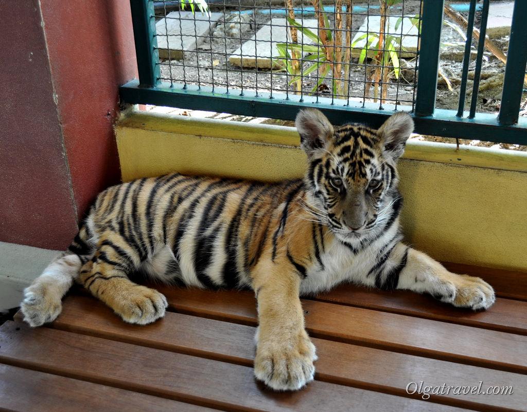 чианг май тигры