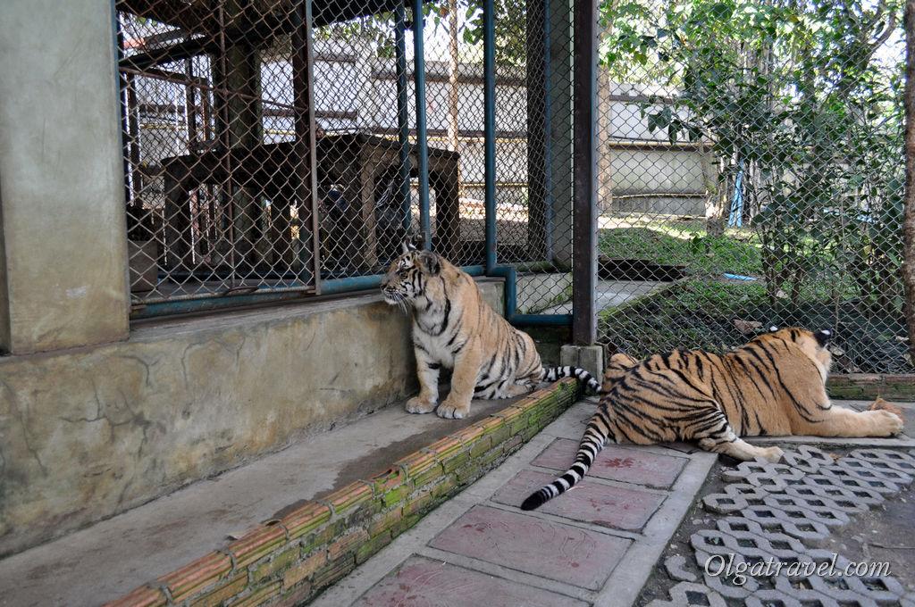 Эти тигры уже побольше: им от 9 месяцев до 1,5 года