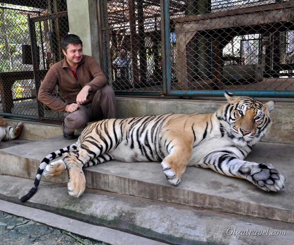 тигры Чианг Май