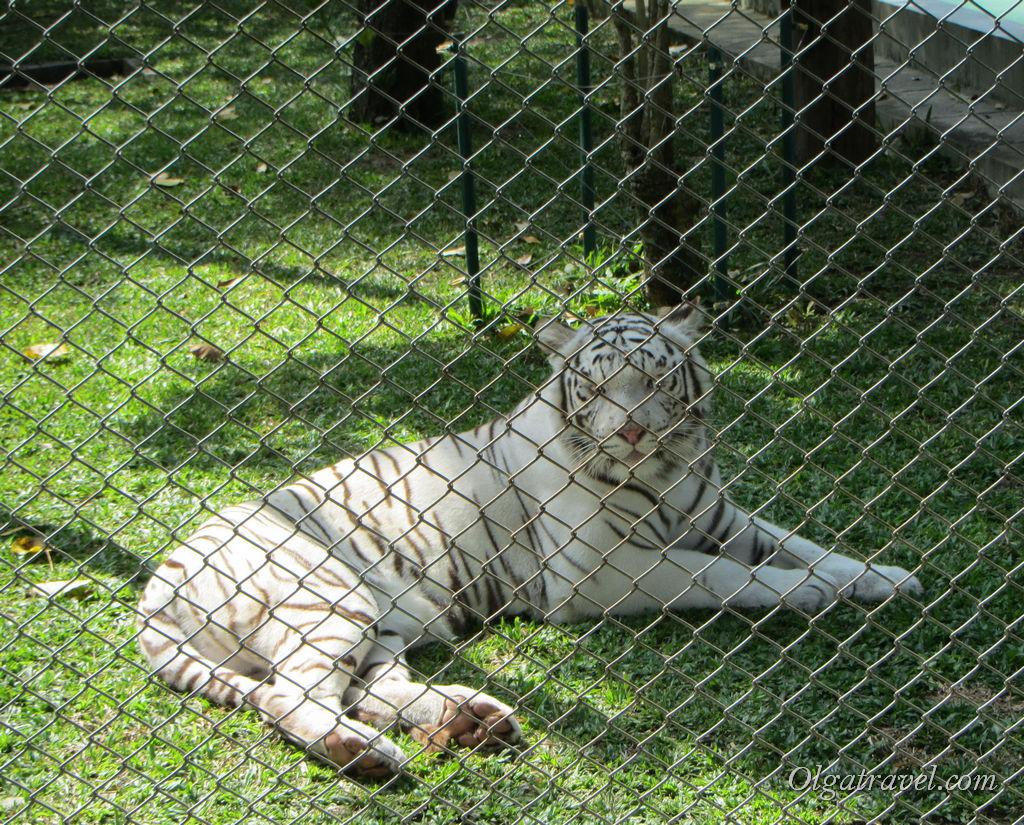 Белые тигры за решеткой - к ним посетителей не пускают