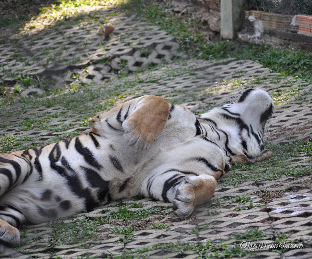 Medium Tiger тоже любит ласку
