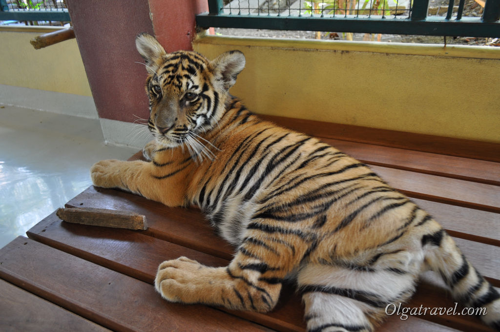 Tiger_Kingdom_Chiang_Mai_67