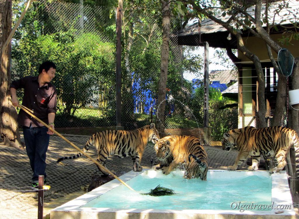 Тигры с радостью резвятся в бассейне