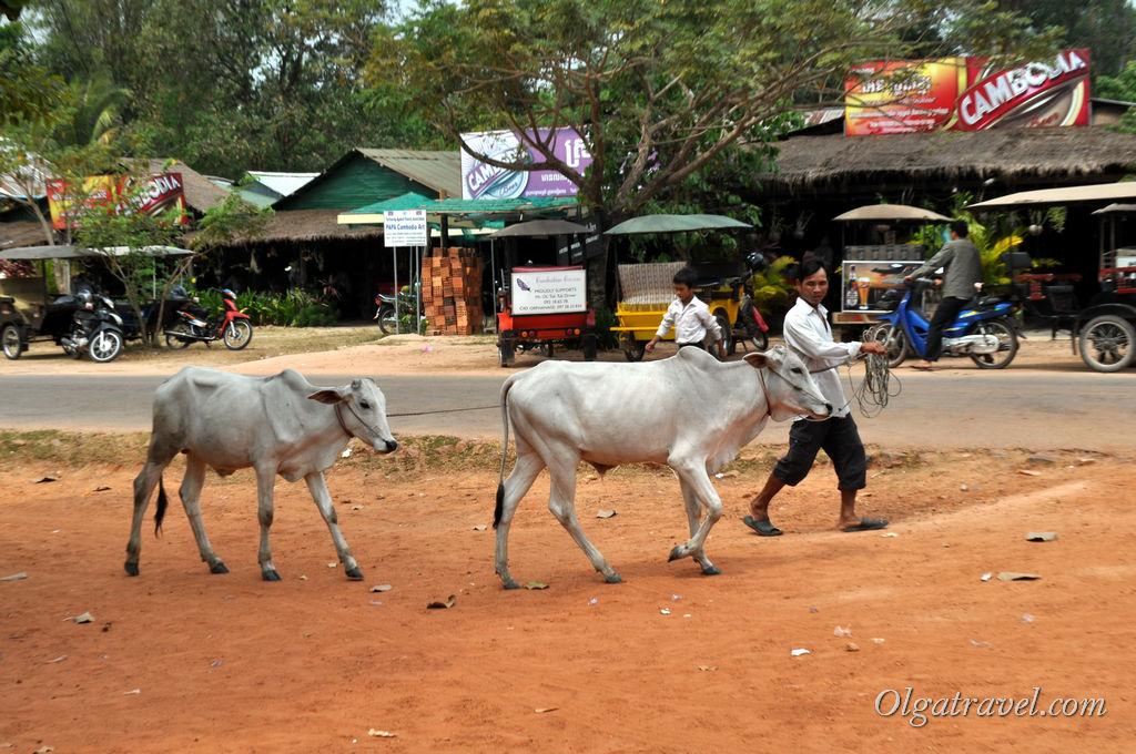 Много пыли и коров