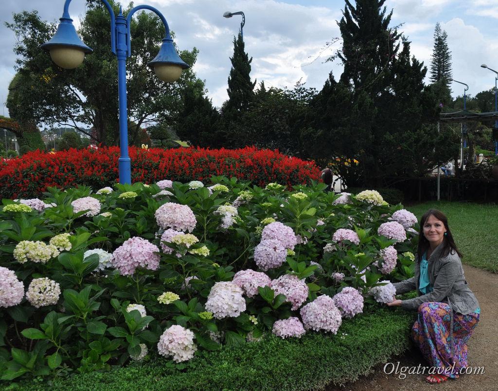 Вот эти бело-сиренево-голубые цветы в Далате по всюду. Как они называются то?