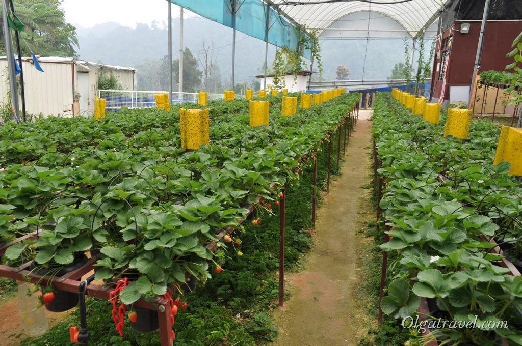 Выращивание клубники в новой зеландии 22