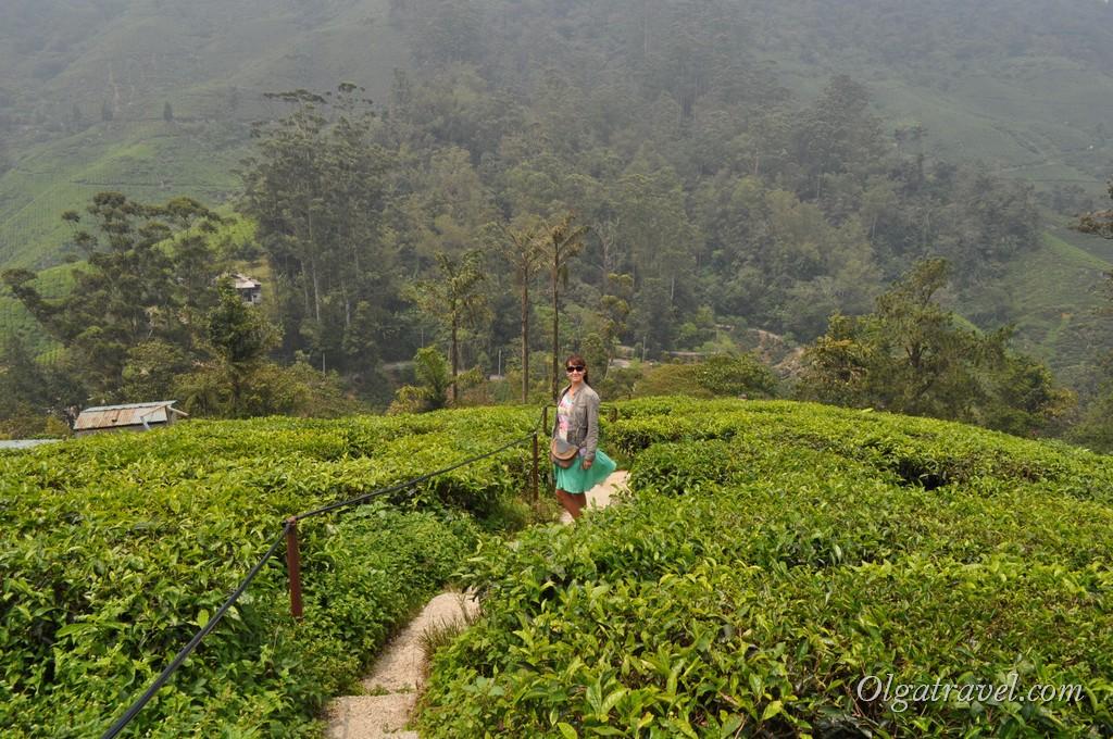 Чайные плантации Камерон Хайлендс