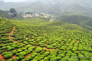 cameron_highlands_tea_plantation_21