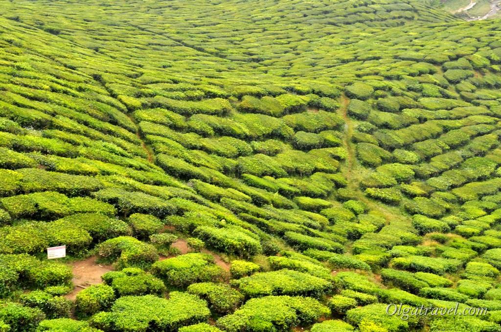 cameron_highlands_tea_plantation_22