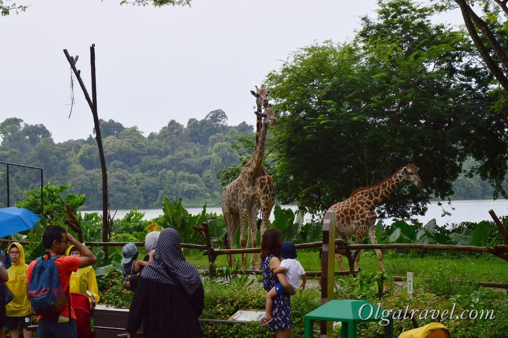 жирафы зоопарк