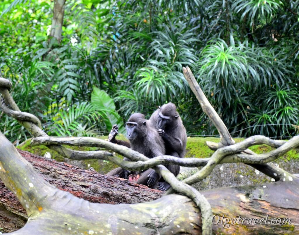 обезьяны в сингапуре