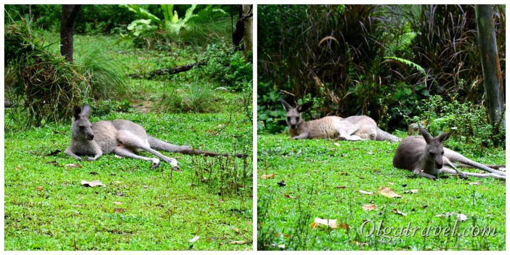 кенгуру в зоопарке сингапура