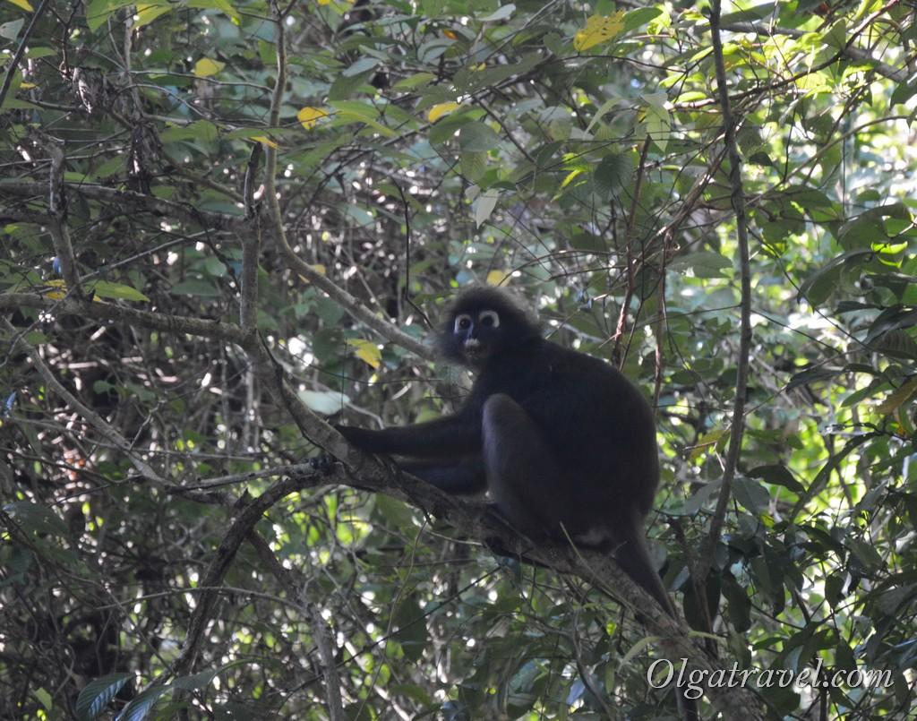 Лангкави обезьяны