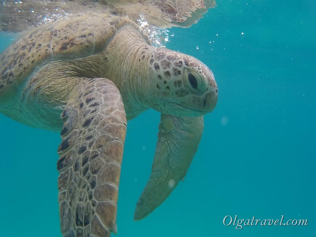 Перхентианы черепаха