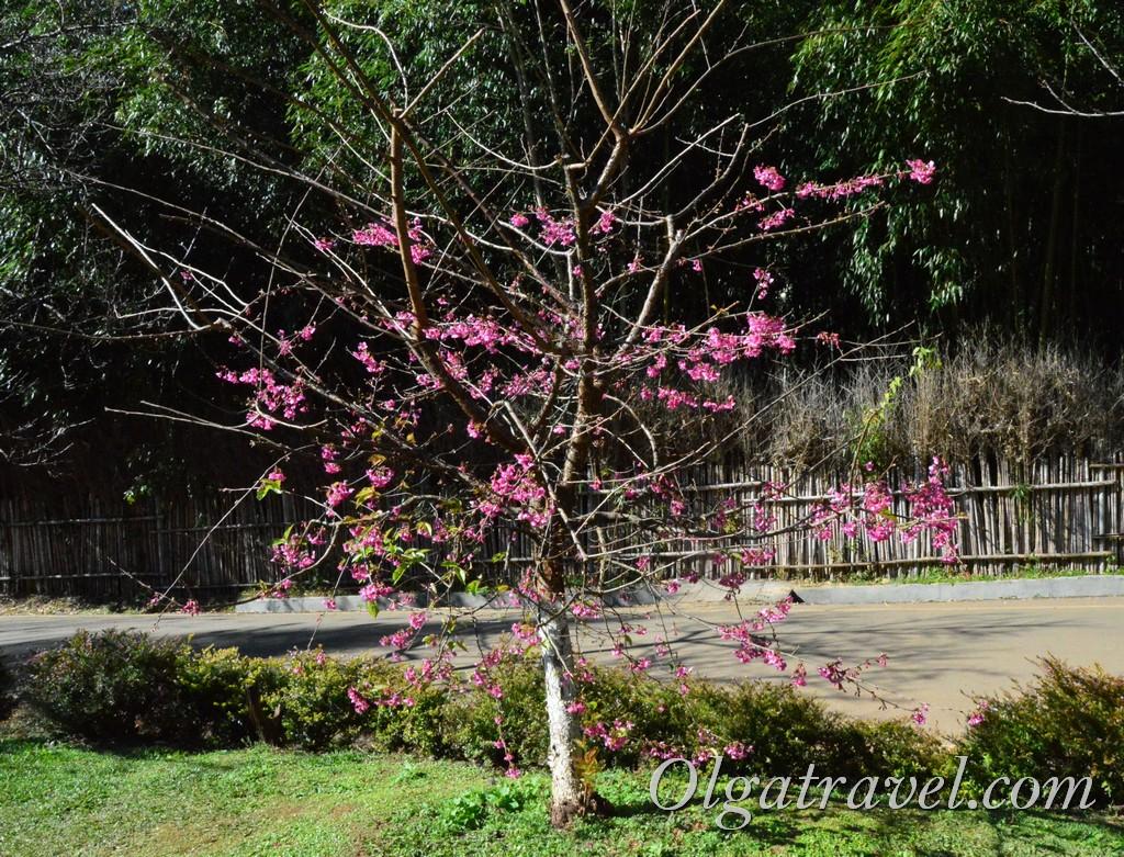 сакура Таиланд